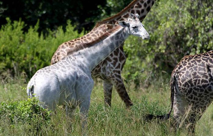 Hươu cao cổ màu trắng ở công viên quốc gia Tarangire, Gambia.