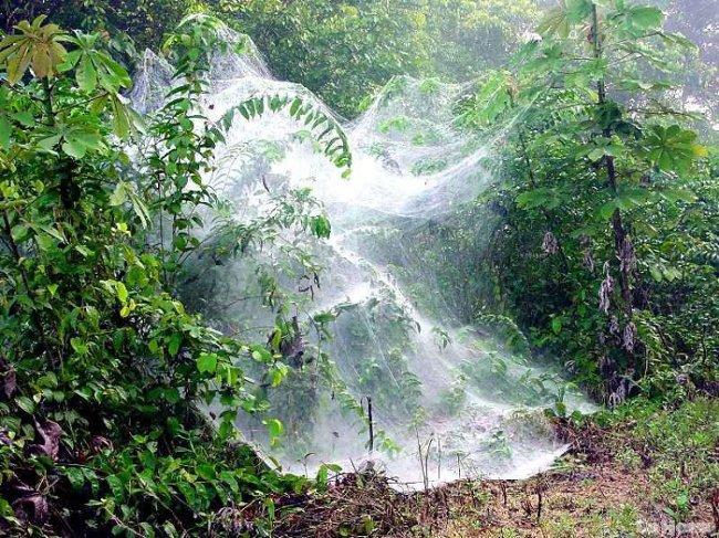 Mạng nhện khổng lồ của Anelosimus eximus.