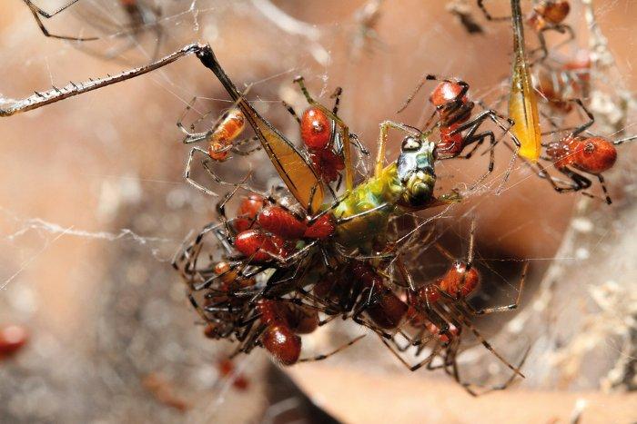 Nạn nhân xấu số của nhện Anelosimus eximius.