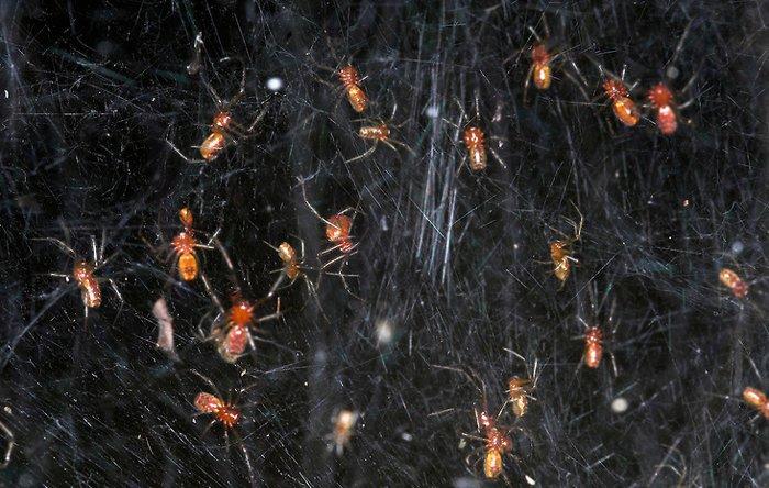 Nhện Anelosimus eximius đang khiến cho nhiều loài phải ngưỡng mộ.