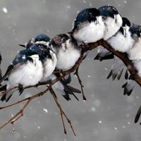 """Loài chim """"kề vai sát cánh"""" với nhau vượt qua khó khăn như thế nào?"""