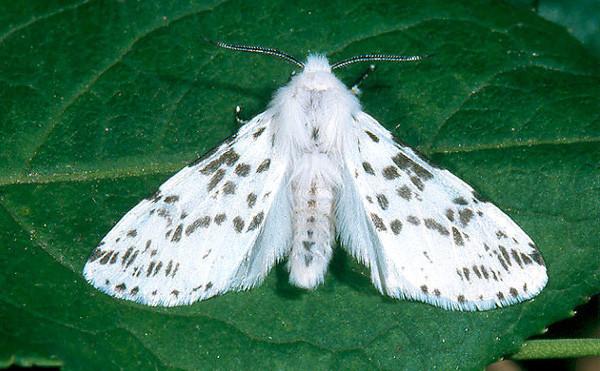 Bướm hổ thuộc gia đình Arctiidae.
