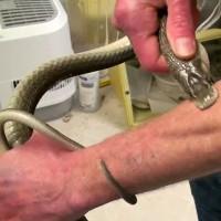 Người bị rắn độc cắn trăm lần không chết