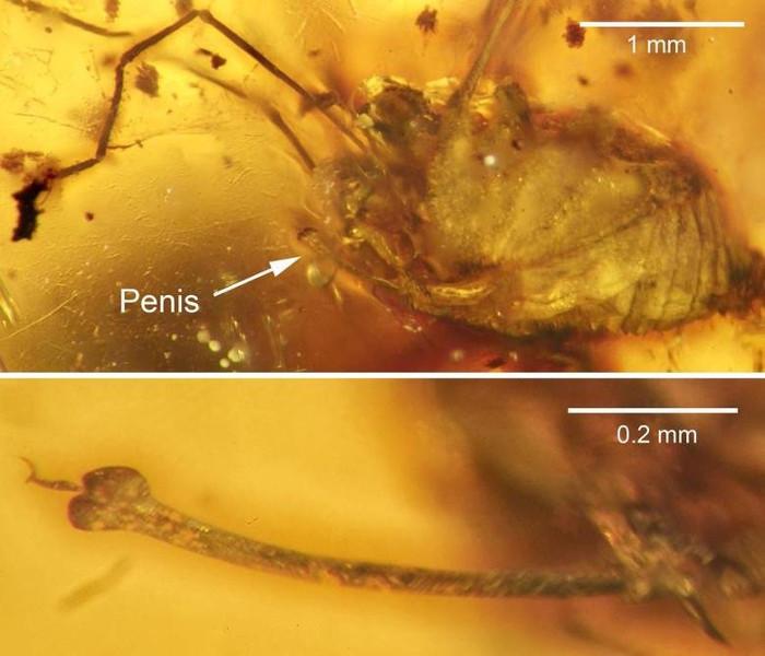 Hóa thạch của con nhện cổ đại nhô ra phía dưới cơ thể.