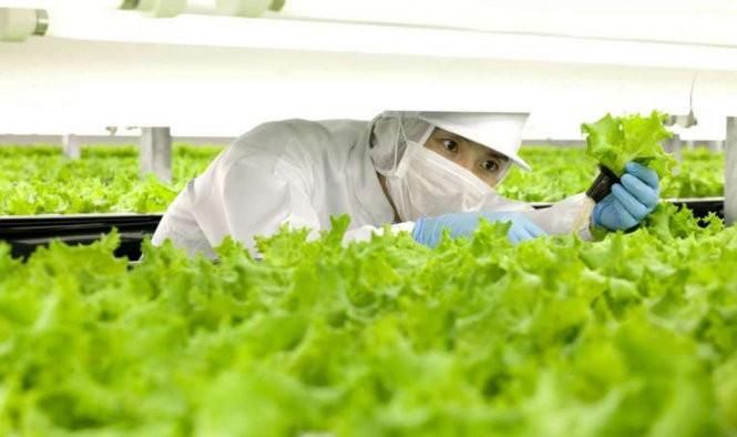 Công nhân đang kiểm tra xà lách trong trang trại của Spread ở Kyoto, Nhật Bản.