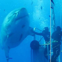 Chú cá mập trắng Deep Blue 50 tuổi lớn nhất thế giới