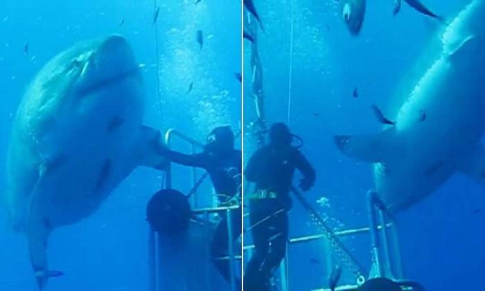 Hình ảnh thợ lặn sờ vào vây chú cá mập trắng Deep BLue gây thích thú với nhiều người xem.