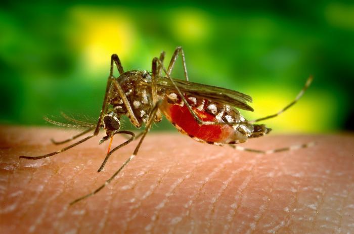 Muỗi Anopheles truyền bệnh sốt rét.