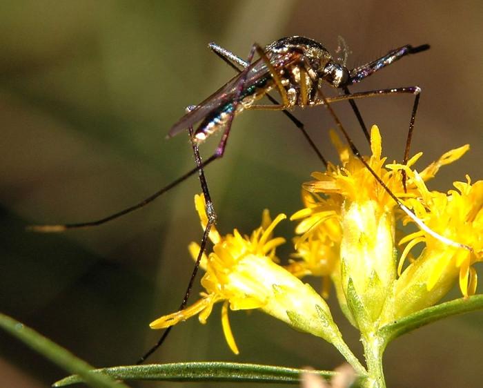 Muỗi tham gia thụ phấn.
