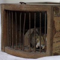 Bẫy cổ 150 năm vẫn diệt chuột hiệu quả