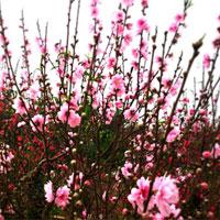Hướng dẫn cách chăm sóc hoa đào sau Tết