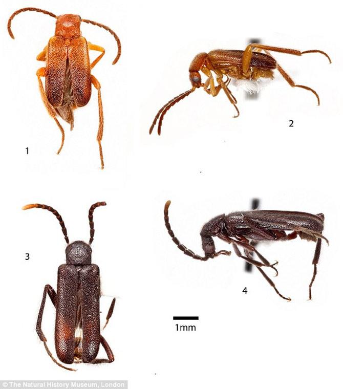Loài bọ cánh cứng Ivierhipidius