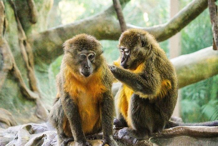 Khỉ giao tiếp bằng âm thanh, hành động, nét mặt