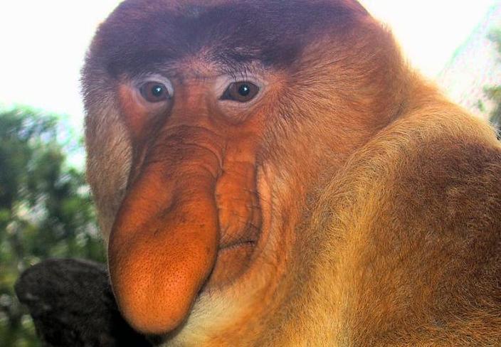 Khỉ vòi được coi là động vật xấu nhất trên thế giới
