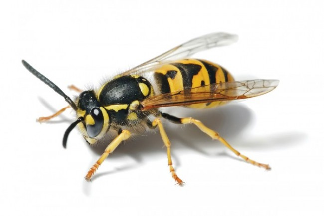 Ong vò vẽ
