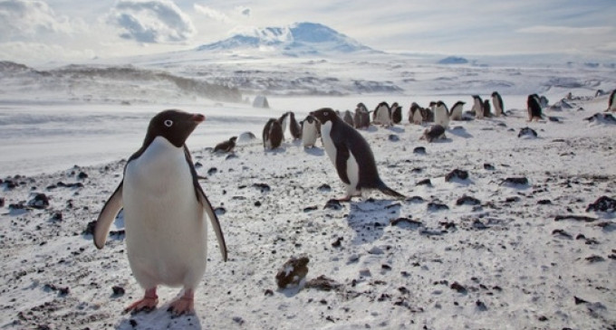 Sự tồn tại của loài cánh cụt này đang bị đe dọa do tác động của những tảng băng trôi.