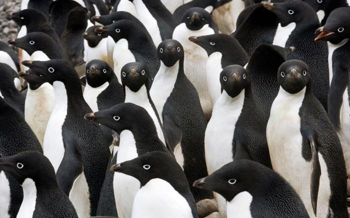 Bầy chim cánh cụt Adelie ở Nam cực.