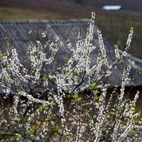 Hoa mận phủ trắng trên cao nguyên Mộc Châu