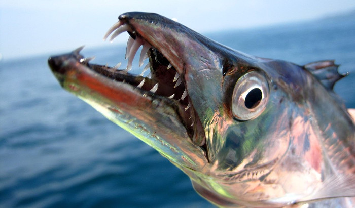 Hình dạng của cá hố (Hairtail) không phù hợp với sinh vật trong ảnh.