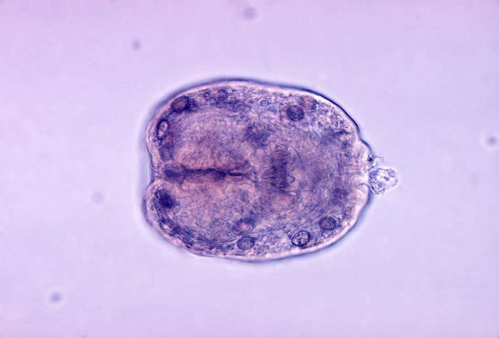 Sán kim E.granulosus chỉ dài 3-7mm, nhưng vô cùng nguy hiểm.