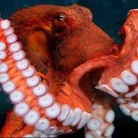 Bạch tuộc khổng lồ không được giao phối vì dễ ăn thịt bạn tình