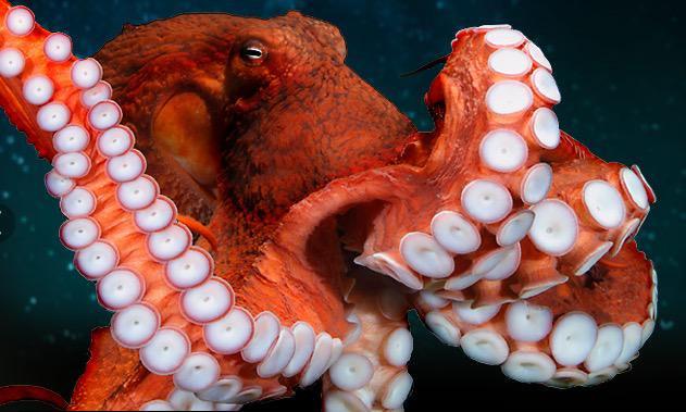 Con bạch tuộc khổng lồ Thái Bình Dương nặng gấp đôi bạn tình.