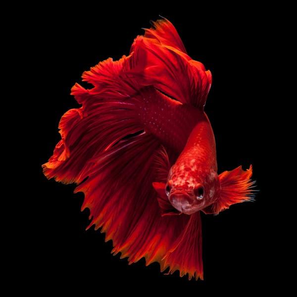 Cá cảnh được cho là loài cá rất dễ nuôi và huấn luyện