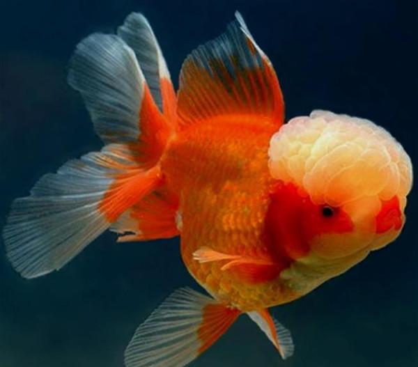 Cá cảnh phổ biến nhất cho đến nay vẫn là loài cá vàng.