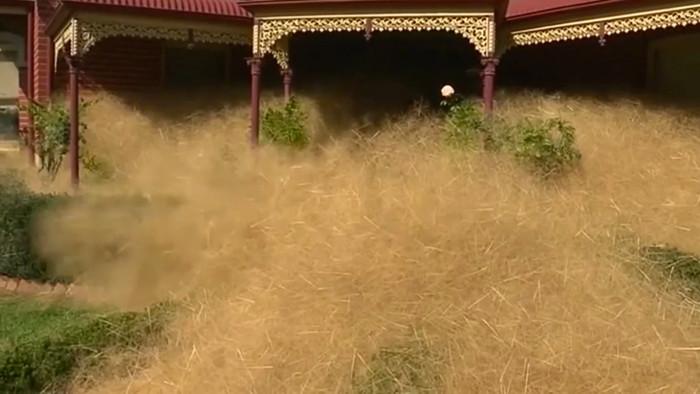 Cỏ lăn tràn ngập nhà dân ở thị trấn Wangaratta, Úc.
