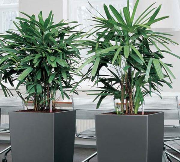 Cây cọ lá tre giúp loại bỏ benzen và lượng trichloroethylene trong không khí.