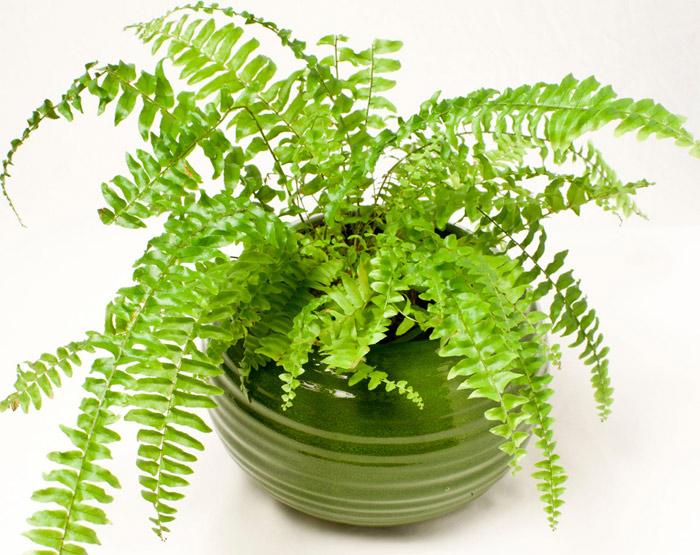 Cây dương xỉ giúp loại bỏ formaldehyde