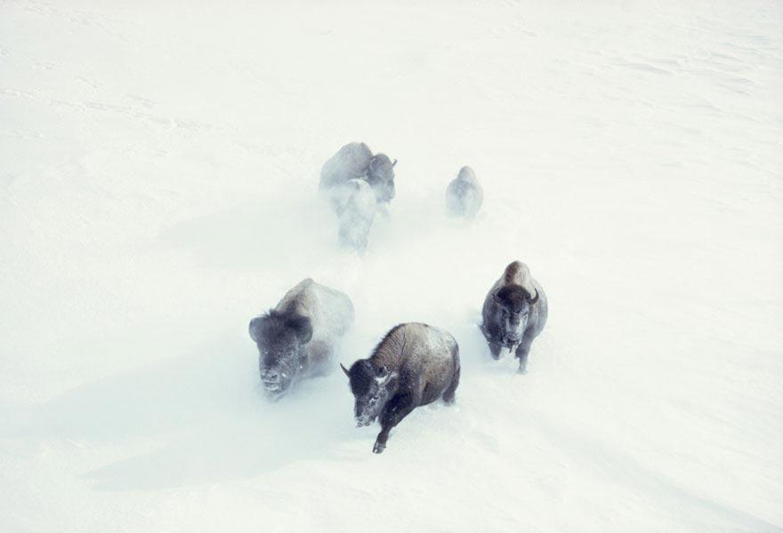 Bò rừng Bison trong bão tuyết tại Công viên quốc gia Yellowstone