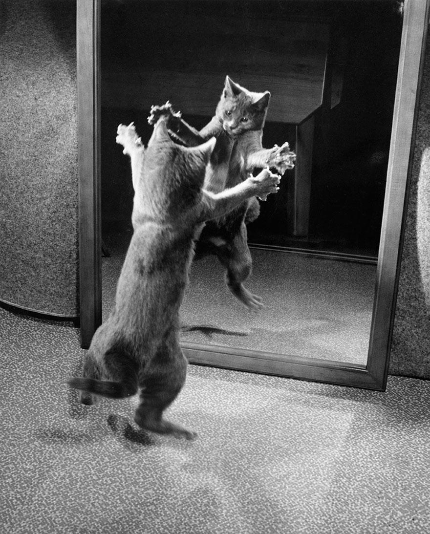 """Chú mèo """"nhảy múa"""" trước gương"""