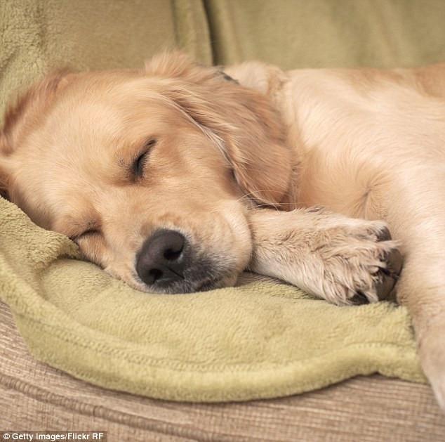 Loài chó thực tế cũng ngủ mơ như con người.