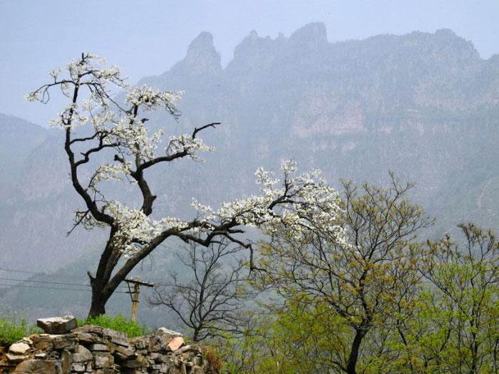 Một cây lê già của làng Quách Lượng dang tay ra như chào đón mọi người tới đây.