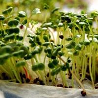 Giới thiệu và hướng dẫn cách trồng rau mầm