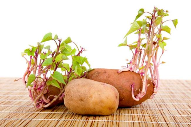 Mầm khoai tây là một trong số mầm có độc tính không nên ăn.