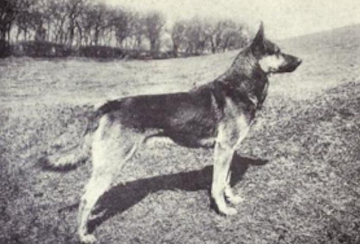 """Đây là một giống chó """"huyền thoại"""" của Đức."""