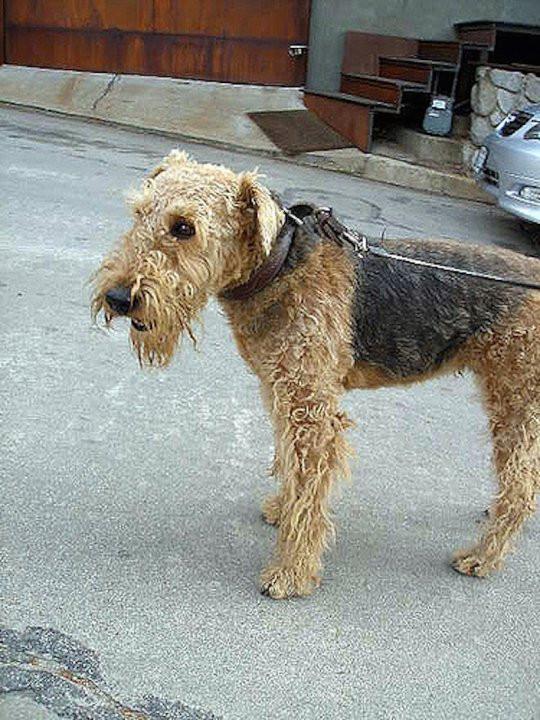 Ngày nay, giống chó này có bộ lông ngày càng rách rưới.