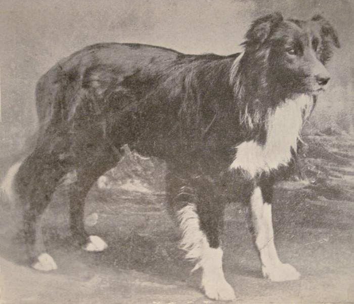 Đây là giống chó chăn cừu thuộc dòng Collie có nguồn gốc từ Anh.