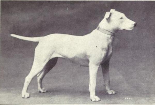 100 năm trước, đây là một giống chó có ngoại hình miễn chê - thân hình gọn gàng, khỏe khoắn, tỉ lệ đầu và cơ thể cân đối.