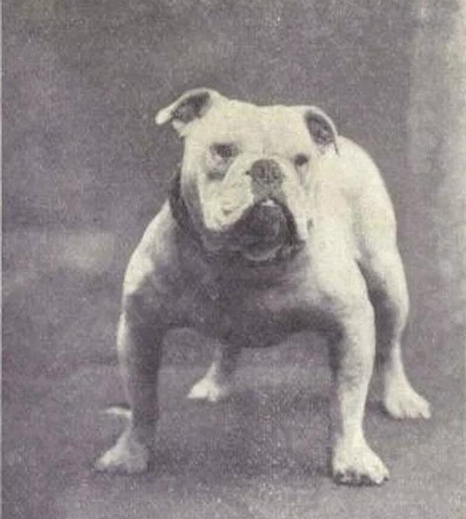 Giống chó này có nguồn gốc từ chó ngao châu Á.