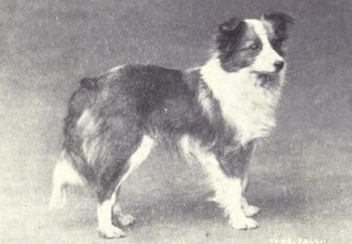 Giống chó này chỉ mới được công nhận là một giống chó riêng vào năm 1911.