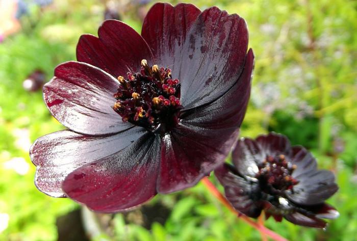 Cúc vạn thọ có màu nâu như màu sô cô la, đường kính từ 3-4cm.