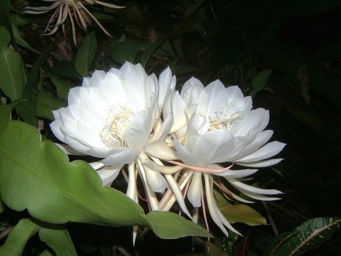 Loài hoa này được xếp vào loại hoa hiếm vì nó nở rất ít.
