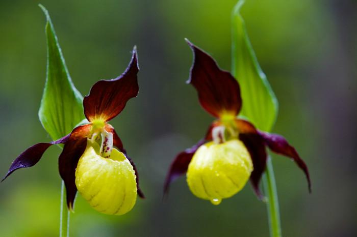 Loài hoa này có giá đến 5000 USD.
