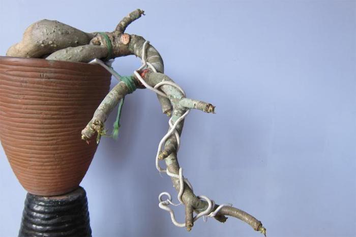 Nên dùng dây kẽm để uốn cành cho cây