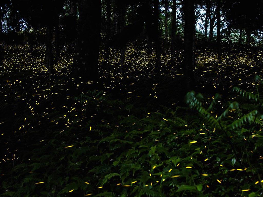 Trong vài tuần giữa tháng 5 và tháng 6, những con đom đóm sẽ tập trung về công viên quốc gia núi Great Smoky ở Tennessee để kết đôi. Chúng tạo ra một màn trình diễn ánh sáng lộng lẫy và lãng mạn như trong cổ tích.