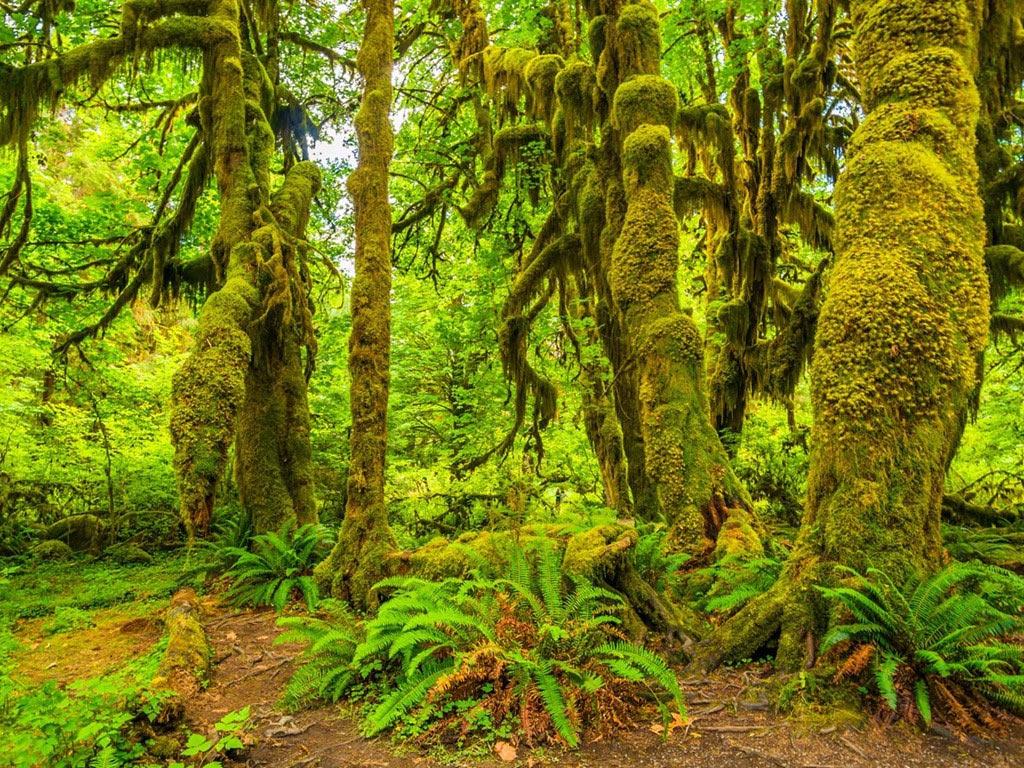 Vào mùa đông, mưa thường xuyên rơi ở rừng Hoh, thuộc công viên quốc gia Olympic của Washington, tạo ra một thảm rêu và dương xỉ trên các thân cây. Khung cảnh rừng vào mùa đông giống như trong những câu truyện cổ tích.