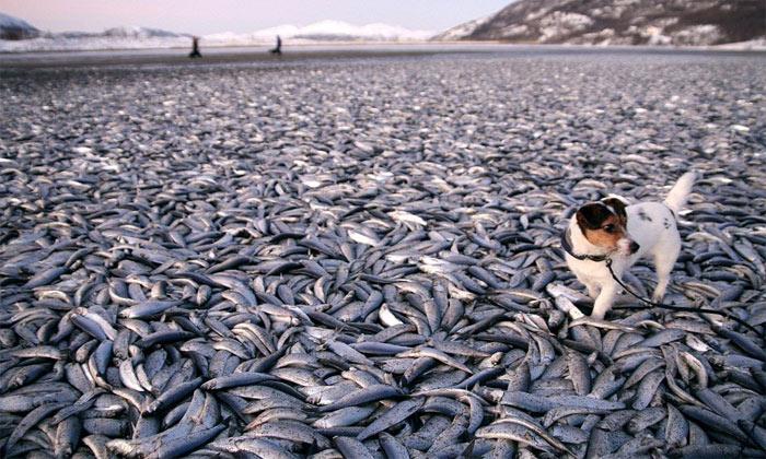Cá chết hàng loạt